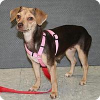 Adopt A Pet :: CeCe - Phoenix, AZ