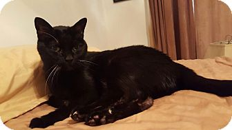 Domestic Shorthair Cat for adoption in Los Angeles, California - Giles