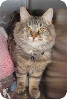 Domestic Longhair Cat for adoption in Tracy, California - Abbott