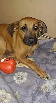 Shepherd (Unknown Type)/Terrier (Unknown Type, Medium) Mix Dog for adoption in Loganville, Georgia - Manning
