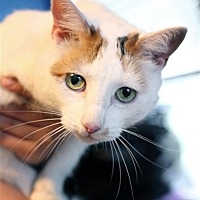 Adopt A Pet :: Miss Kitty - Fairfax Station, VA