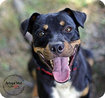 Rottweiler Mix Dog for adoption in Lyons, New York - Nacho