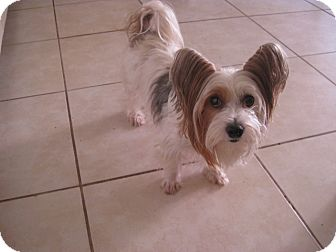 Yorkie, Yorkshire Terrier Dog for adoption in Palm Harbor, Florida - Macie