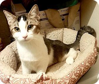 Domestic Shorthair Kitten for adoption in Riverside, California - Storm