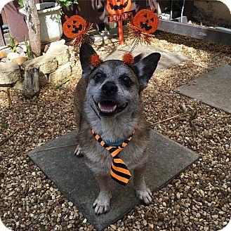Corgi/Blue Heeler Mix Dog for adoption in Davie, Florida - SuperDog