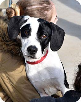 Labrador Retriever/Hound (Unknown Type) Mix Puppy for adoption in Darlington, South Carolina - Benedict