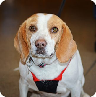 Beagle Dog for adoption in Indianapolis, Indiana - Eleanor
