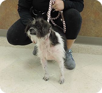 Terrier (Unknown Type, Small) Mix Dog for adoption in Sioux City, Iowa - CHARLIE