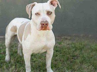 Pit Bull Terrier Dog for adoption in Los Angeles, California - TAFFY