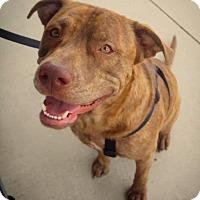 Adopt A Pet :: Buddy - San Antonio, TX