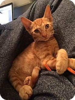 Domestic Shorthair Kitten for adoption in Houston, Texas - Louise