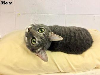 Domestic Shorthair/Domestic Shorthair Mix Cat for adoption in Cumming, Georgia - Roz