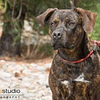 Rottweiler Mix Dog for adoption in Albuquerque, New Mexico - TIGERFISH