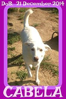 Labrador Retriever/Australian Cattle Dog Mix Dog for adoption in White River Junction, Vermont - CABELA - $150