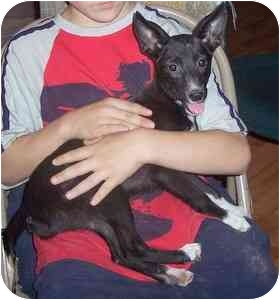 Whippet/Rat Terrier Mix Puppy for adoption in Portsmouth, Rhode Island - Chatter