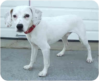 Jack Russell Terrier/Pointer Mix Puppy for adoption in Provo, Utah - MACGYVER