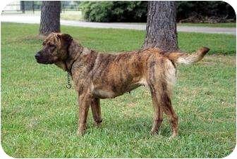 Shepherd (Unknown Type)/Boxer Mix Dog for adoption in Houston, Texas - Motza