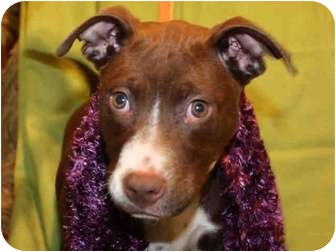 American Staffordshire Terrier Mix Puppy for adoption in Troy, Michigan - Destiny