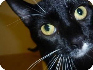 Domestic Shorthair Cat for adoption in Milwaukee, Wisconsin - Kadee