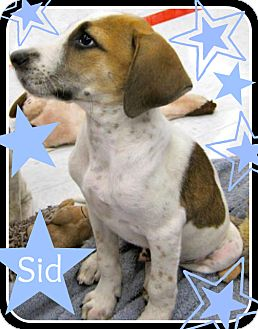 Beagle/Hound (Unknown Type) Mix Puppy for adoption in South Plainfield, New Jersey - Sid