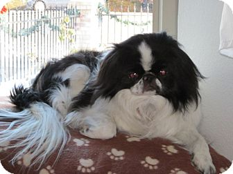 Japanese Chin Dog for adoption in Aurora, Colorado - Yoyo