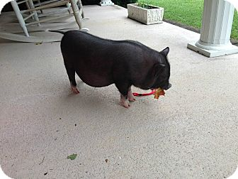 Pig (Potbellied) for adoption in Bluff city, Tennessee - Wilbur- A Baby Pig