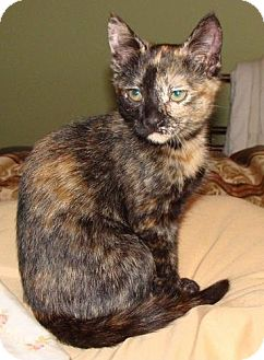 Domestic Shorthair Kitten for adoption in Acushnet, Massachusetts - Jasmine