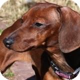 Dachshund Dog for adoption in Houston, Texas - Amy Adams