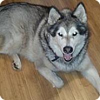 Adopt A Pet :: Koda - Belleville, MI