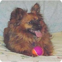 Adopt A Pet :: Pippi - Windham, NH