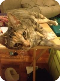 Domestic Mediumhair Cat for adoption in Worcester, Massachusetts - Princess