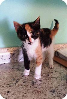 Domestic Shorthair Kitten for adoption in Freeport, New York - Jenesis