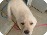 Golden Retriever/Flat-Coated Retriever Mix Puppy for adoption in New Boston, New Hampshire - Jessie
