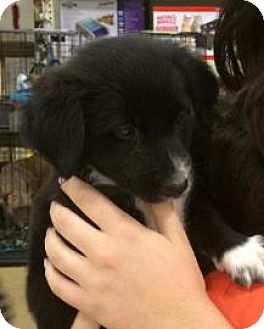Border Collie/Welsh Corgi Mix Puppy for adoption in Gainesville, Florida - Gummi Bear
