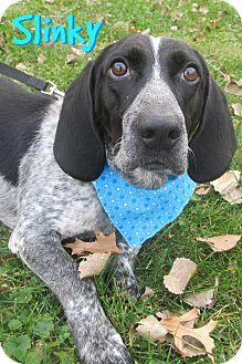 Basset Hound/Coonhound Mix Dog for adoption in Menomonie, Wisconsin - Slinky