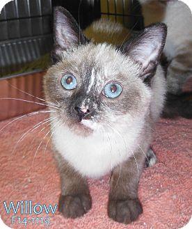 Siamese Kitten for adoption in Tiffin, Ohio - Willow
