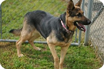 German Shepherd Dog Dog for adoption in Tyner, North Carolina - kymba