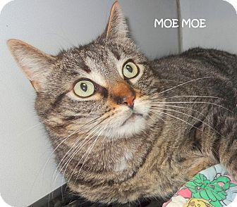 Domestic Shorthair Cat for adoption in Lapeer, Michigan - MOE-MOE--BIG BABY!