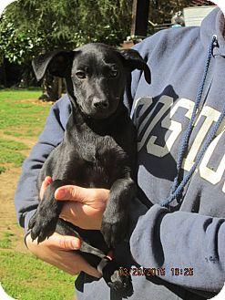 Retriever (Unknown Type)/Labrador Retriever Mix Dog for adoption in Rutherfordton, North Carolina - Onyx