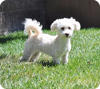 Maltese/Poodle (Miniature) Mix Puppy for adoption in Vacaville, California - Penny