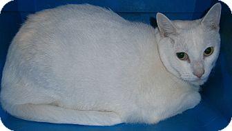 Domestic Shorthair Cat for adoption in Cheboygan, Michigan - TJ