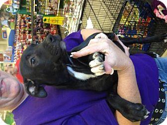 Labrador Retriever/Australian Cattle Dog Mix Puppy for adoption in House Springs, Missouri - Teacher