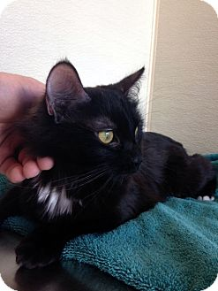 Domestic Mediumhair Kitten for adoption in Las Vegas, Nevada - Raven