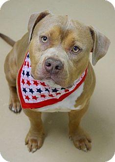 Pit Bull Terrier Mix Dog for adoption in Dublin, California - Jack