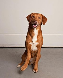 Labrador Retriever/Vizsla Mix Dog for adoption in Hankamer, Texas - Hank