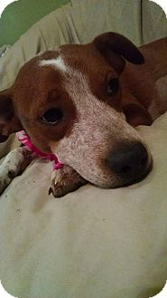 Boxer/English Springer Spaniel Mix Puppy for adoption in Nashville, Tennessee - SCOUT