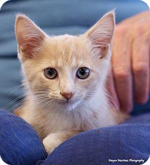 Domestic Shorthair Kitten for adoption in Marietta, Georgia - Degas