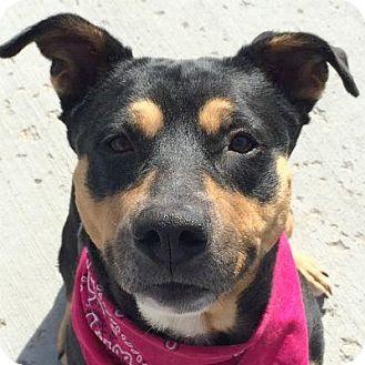 Rottweiler/Shepherd (Unknown Type) Mix Dog for adoption in Denver, Colorado - Zoey