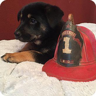 Shepherd (Unknown Type) Mix Puppy for adoption in San Francisco, California - Barkus