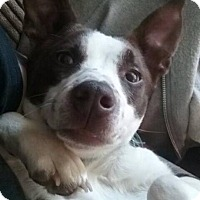 Border Collie Mix Puppy for adoption in ST LOUIS, Missouri - Kailani